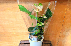White and Lime Anthurium