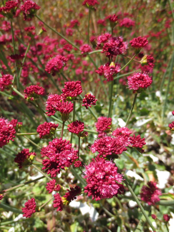 Eriogonum grande var. rubescens, Red-flowered Buckwheat