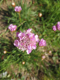 Armeria maritima, Thrift Sea Pink