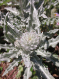 Cirsium occidentale, Cobweb Thistle