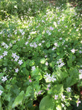 Claytonia sibirica, Peppermint Candy Flower