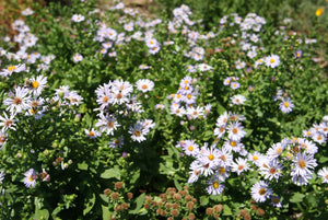 Aster chilense, California Aster