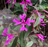 Clarkia concinna, Red Ribbons
