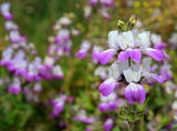 Collinsia heterophylla, Purple Chinese Houses
