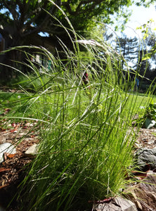 Deschampsia elongata, Slender Hairgrass