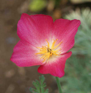 Eschscholzia californica 'Carmine King' Poppy