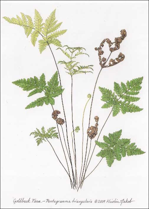 Goldback Fern Notecard by Kristin Jakob