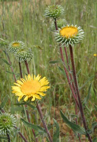 Grindelia camporum, Central Valley Gumplant