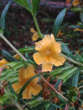 Mimulus aurantiacus, Sticky Monkeyflower