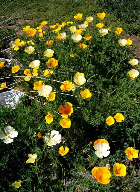 Eschscholzia californica 'Mixed Colors' Poppy