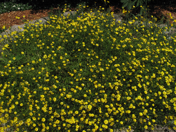 Ranunculus californicus, Buttercup