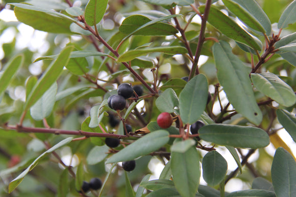 Frangula californica, Coffeeberry