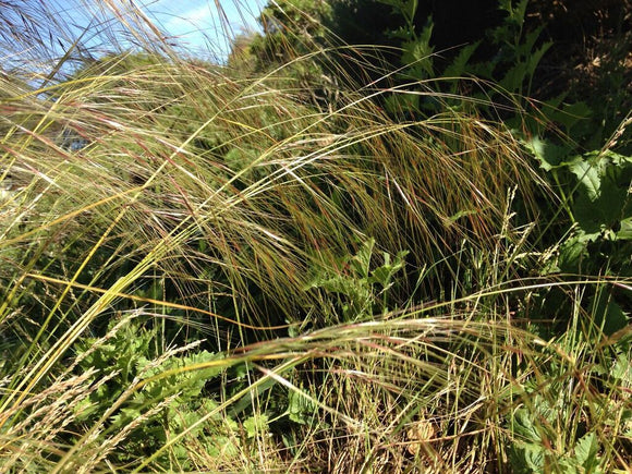 Stipa pulchra, Purple Needlegrass
