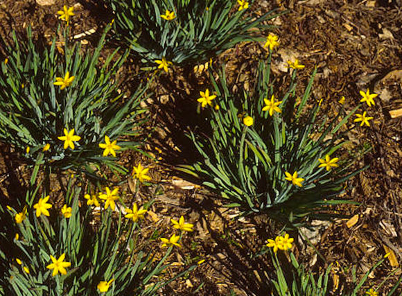 Sisyrinchium californicum, Yellow-eyed Grass