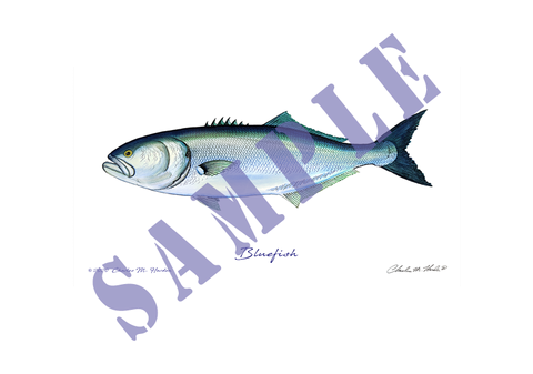 Bluefish Art Print