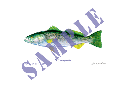 Weakfish Art Print