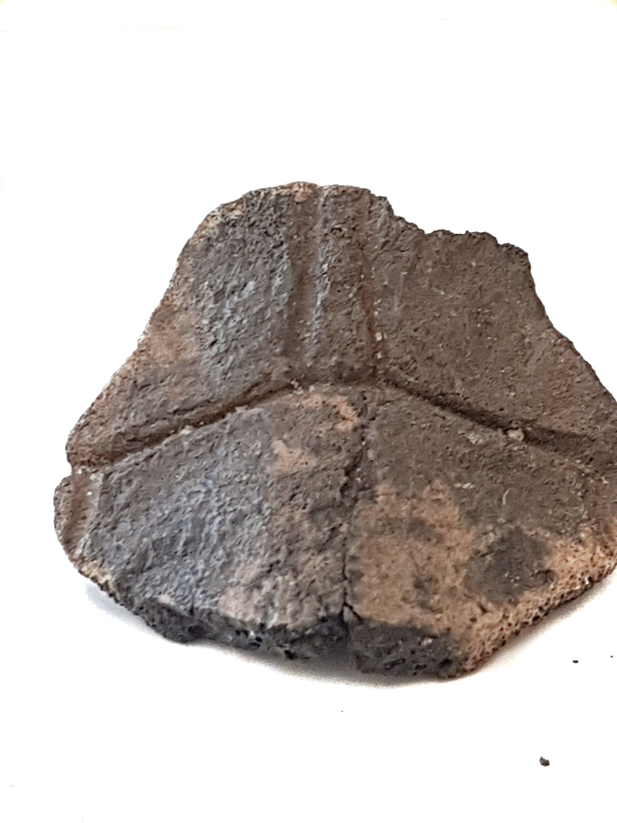 fragment of fossil turtle shell