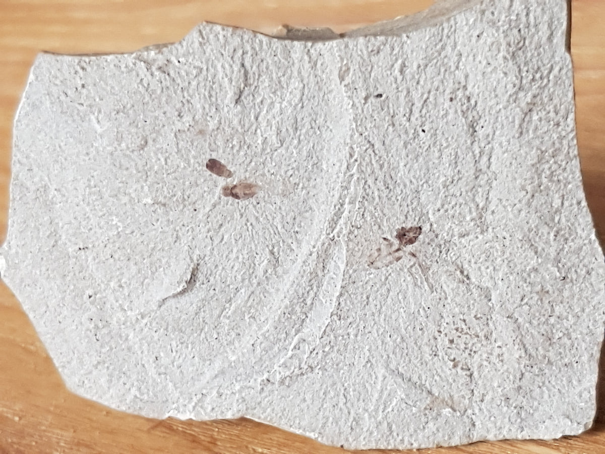 Fossil insects - The Science of Magic