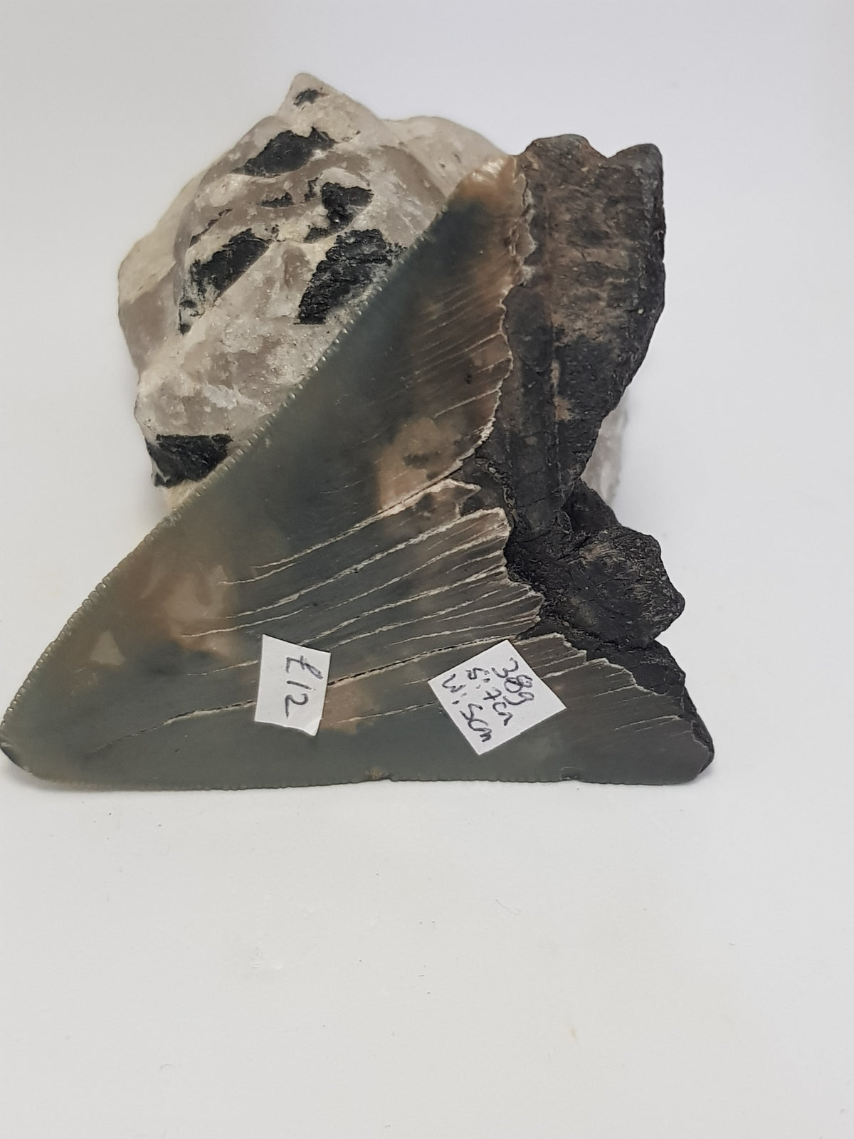 Megaladon tooth - The Science of Magic