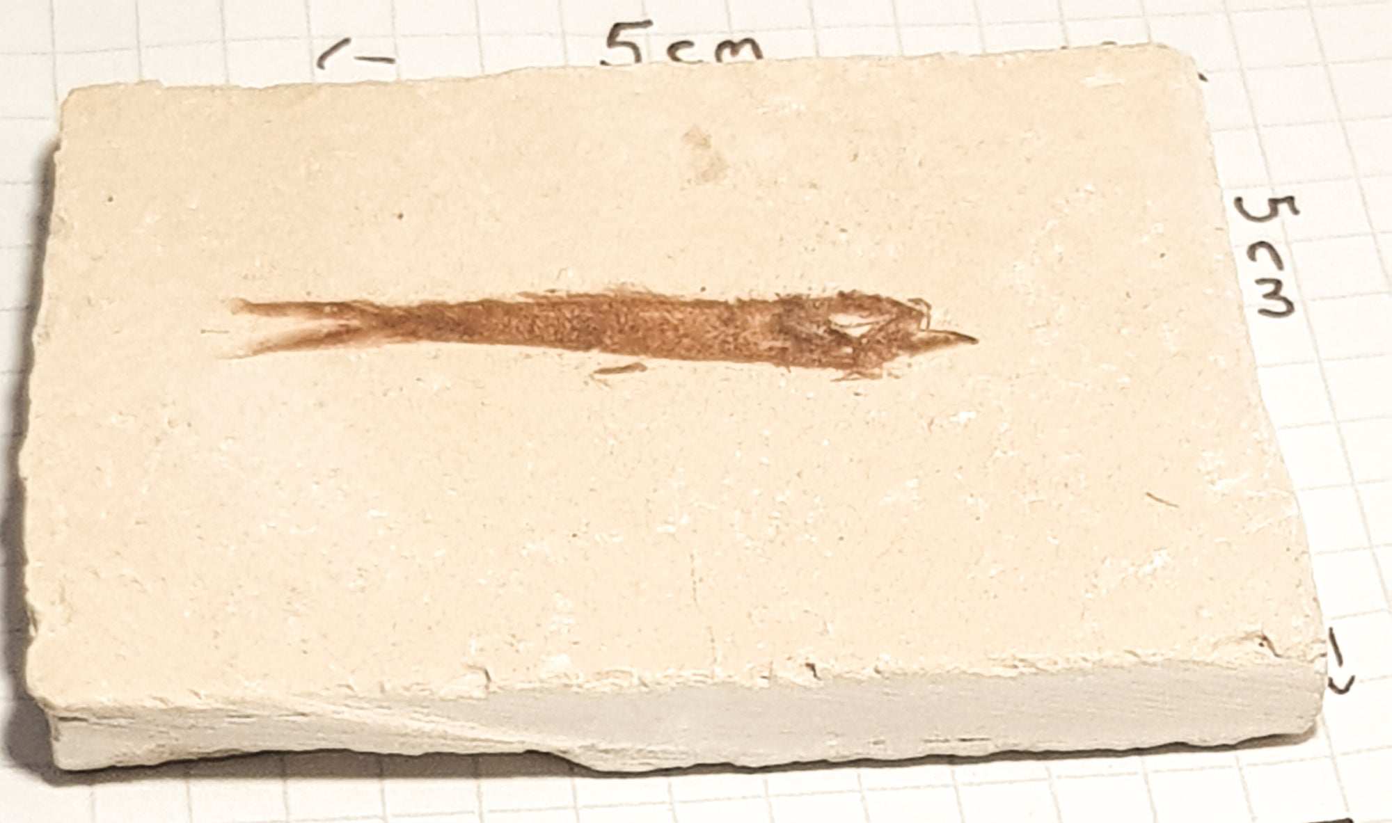 a thin elongated fossil fish stretches across a cream coloured laminated limestone. The fish is placed on square paper to indicate scale. it is roughly 6cm x 5cm
