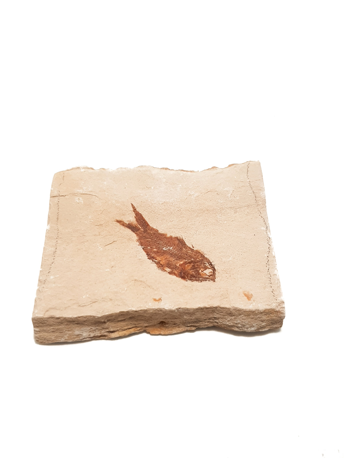 Fossil fish in limestone. The edges of the limestone are laminated. The fish is very complete, both the bones and preserved flesh are brown. Details of the back bone and the eye socket are clearly visible. There are no signs of repair