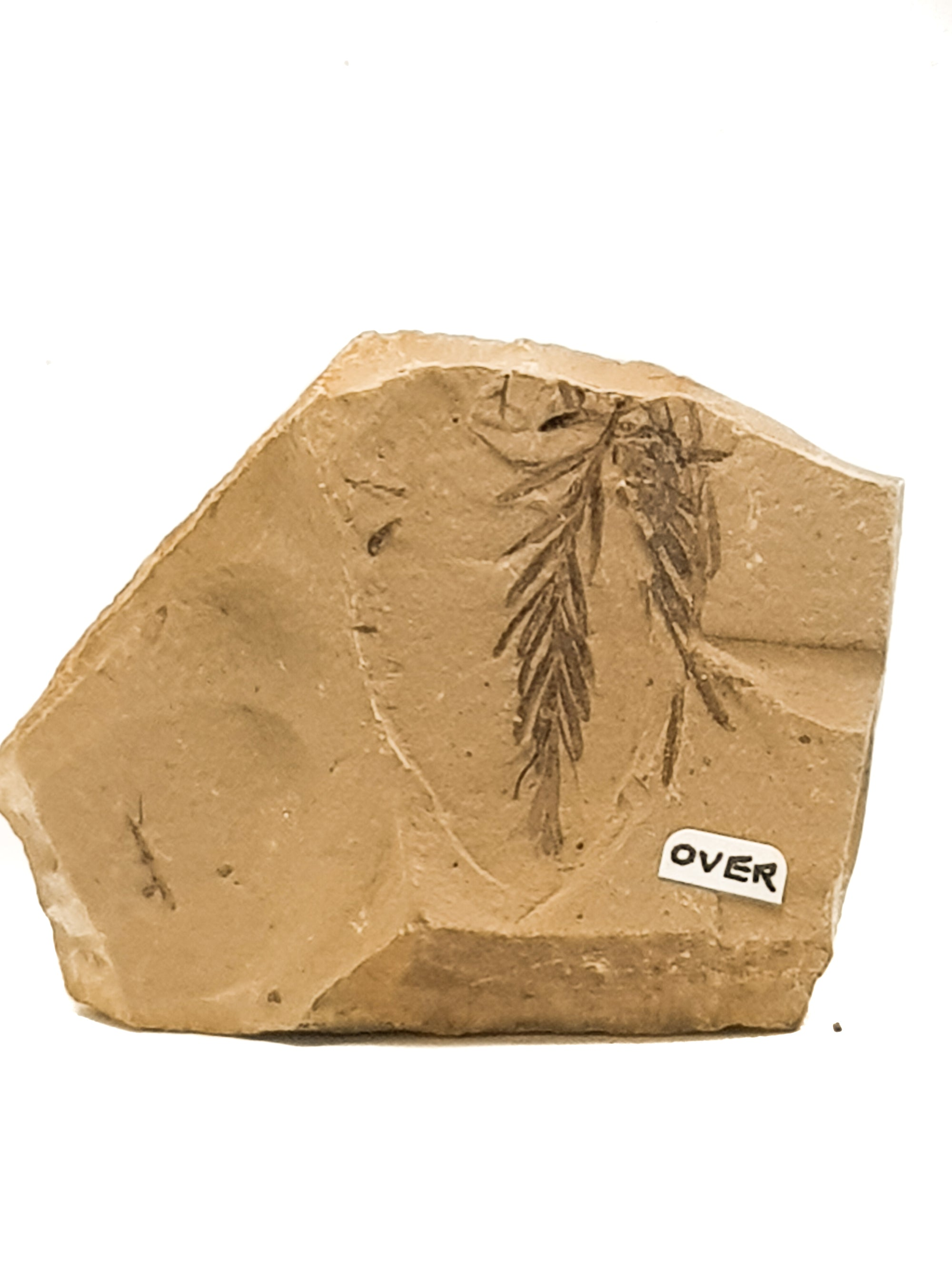 Fossilised metasequoia (dawn redwood) leaf on a beige matrix. a small handwritten label says OVER