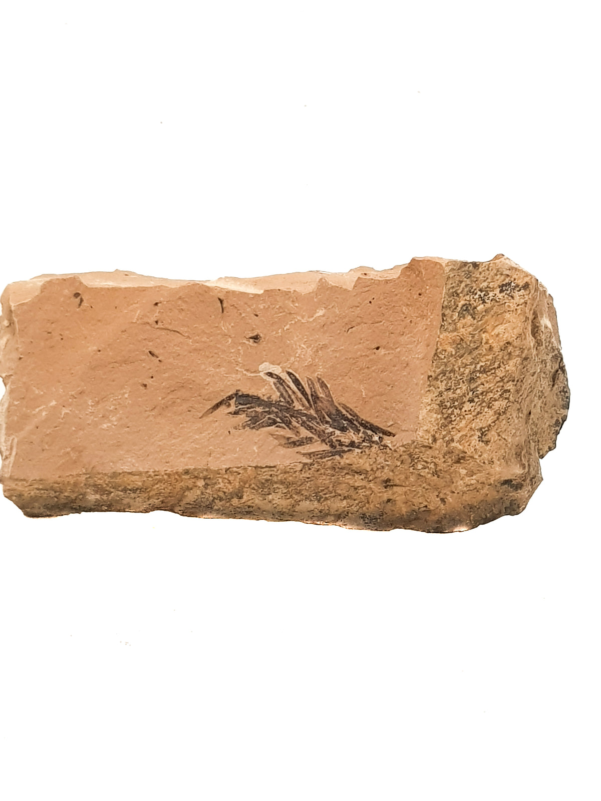 A partial meta sequoia fossil leaf on a beige limestone