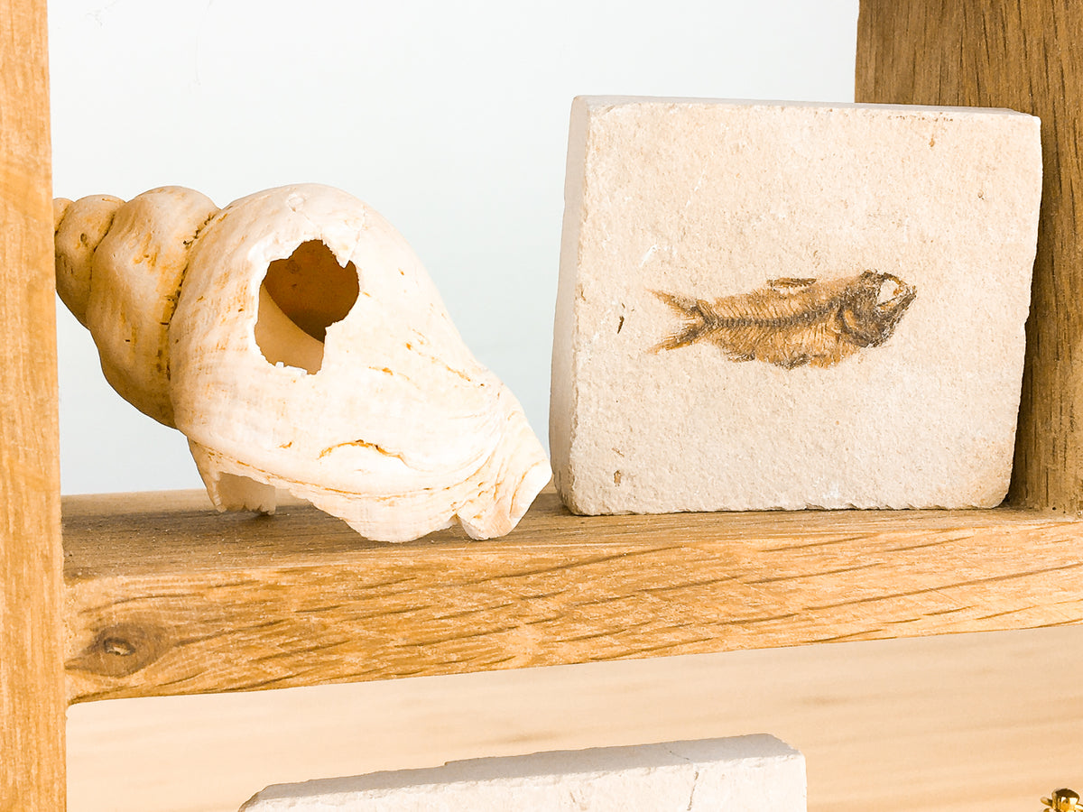 A large whelk shell with a hole in it is sitting on a shelf next to a fossil fish in limestone. The limestone is pale, the details of the fish are light brown. The bones and skull is very complete.