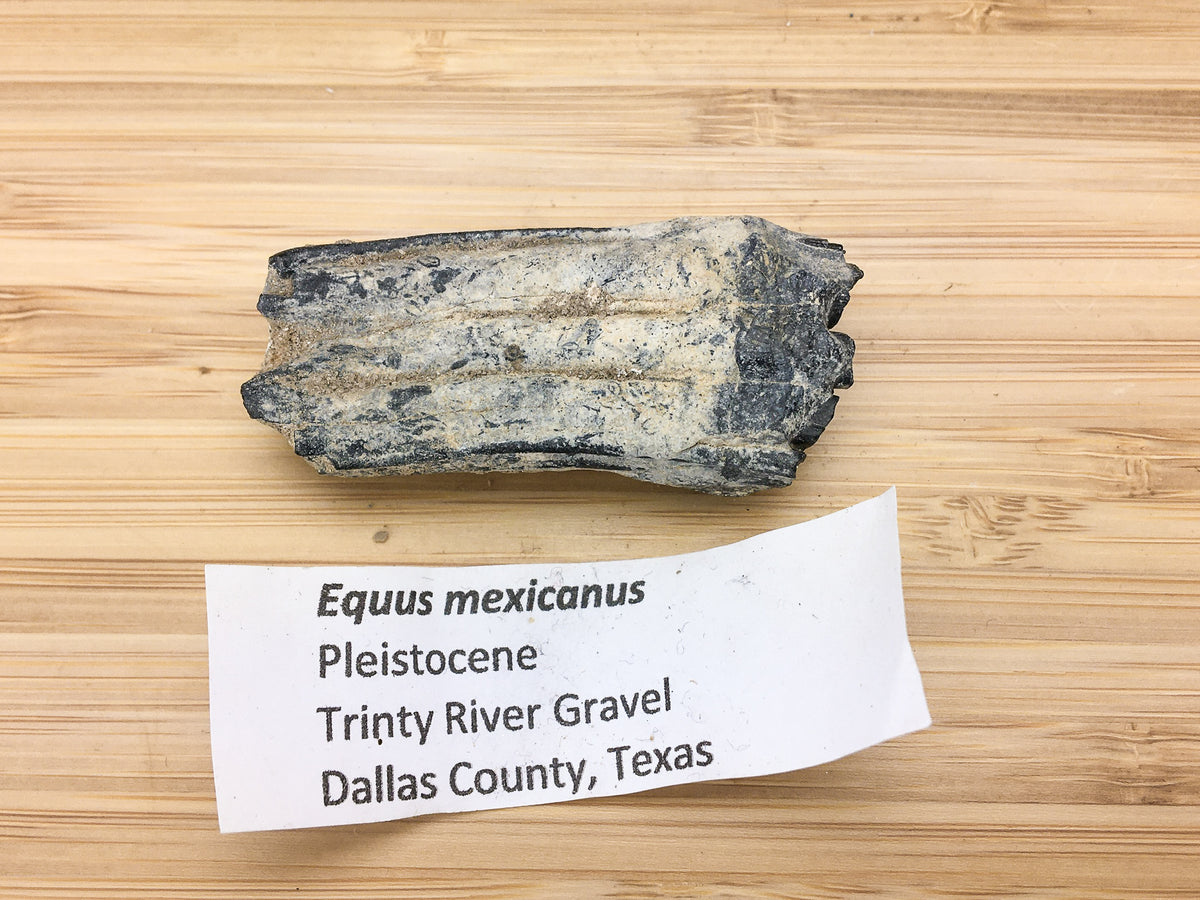 "ice age horse tooth -- Equus mexicanus. shown next to a label. the label says ""Equus mexicanus, Pleistocene, trinity river gravel, Dallas  county, Texas"""