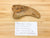 "spin-sauropod claw with slight repair at the tip. It is next to hand written card which says ""Dinosaur claw, Spinosaurus?, age: cretaceous (100 million years) loc: Kem Kem, Morocco"