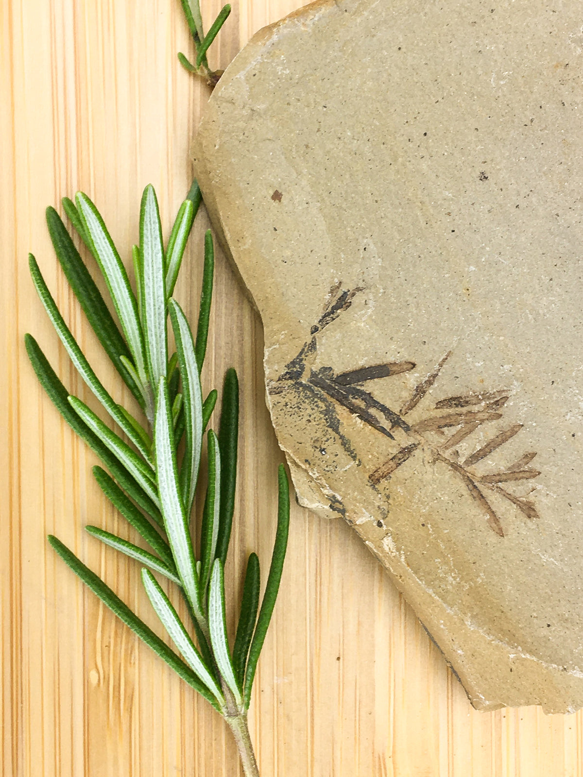 Metasequoia leaf on a flat grey sedimentary rock. The  fossil is lying on a grained wood surface, it is contrasted with a sprig of fresh rosemary
