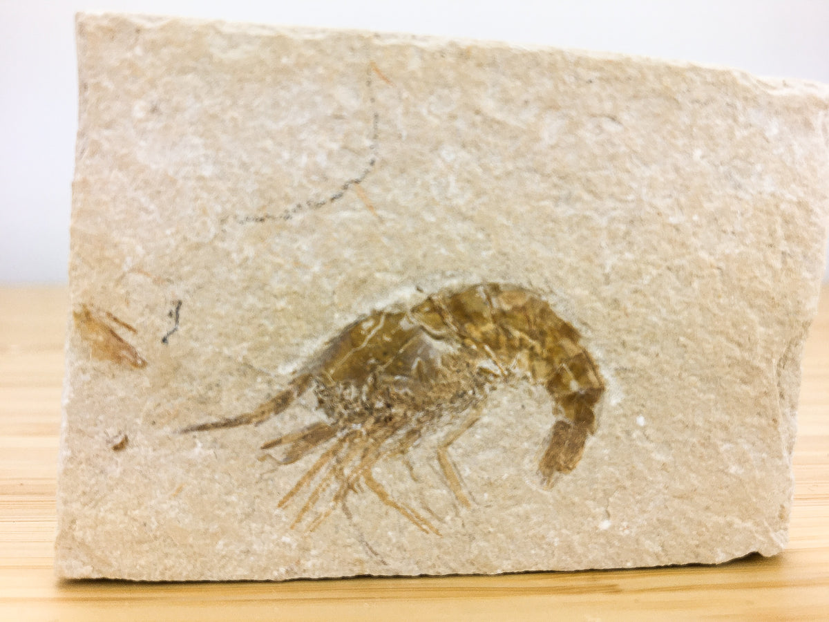 cretaceous fossil shrimp from the Lebanon