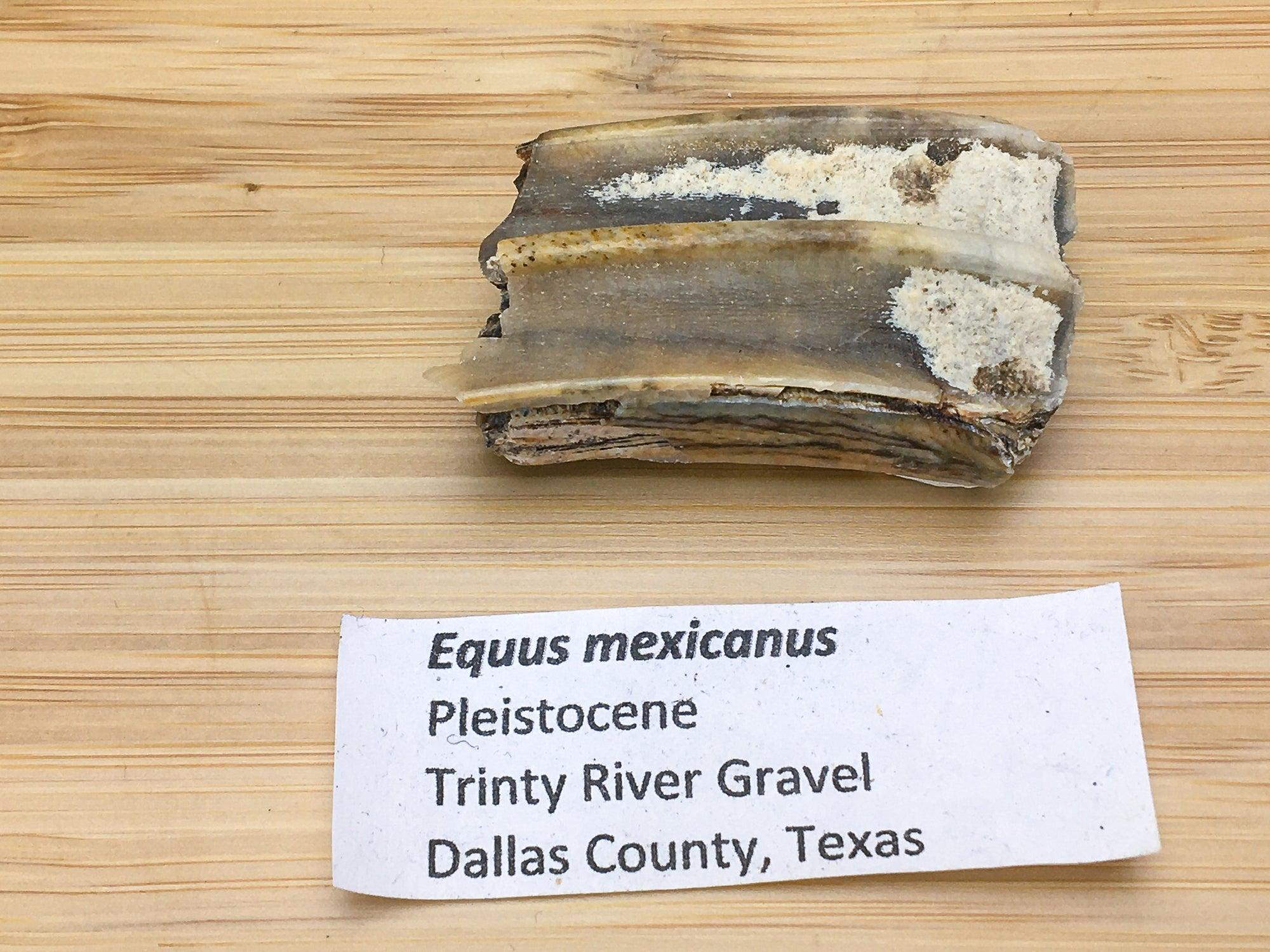"ice age horse tooth fossil. This sample is next to a label. it says ""equus mexicanus, Pleistocene, trinity river gravel, Dallas co., Texas"""