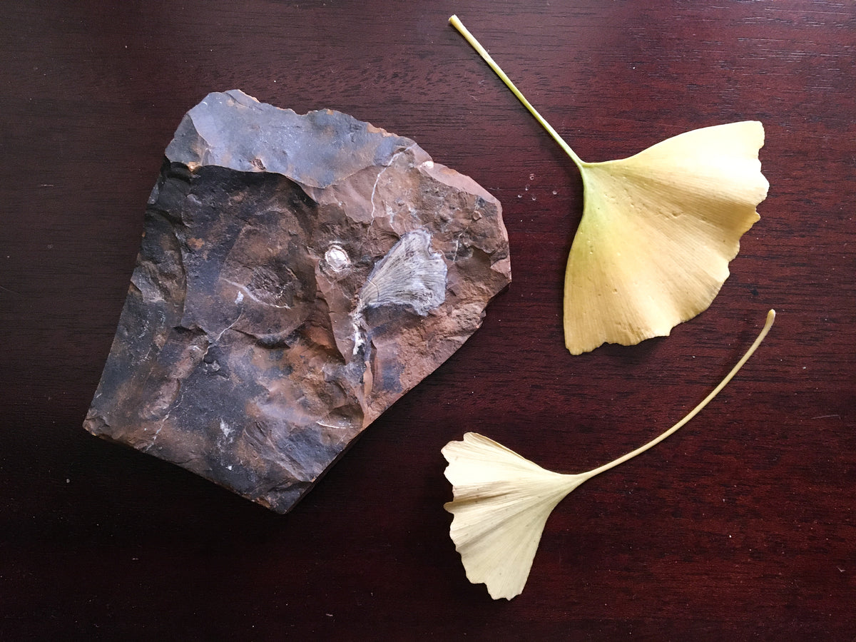 Ginko leaf fossil in brown mudstone. The sample shows a leaf and a seed. The fossil is compared to two modern ginkgo leaves.