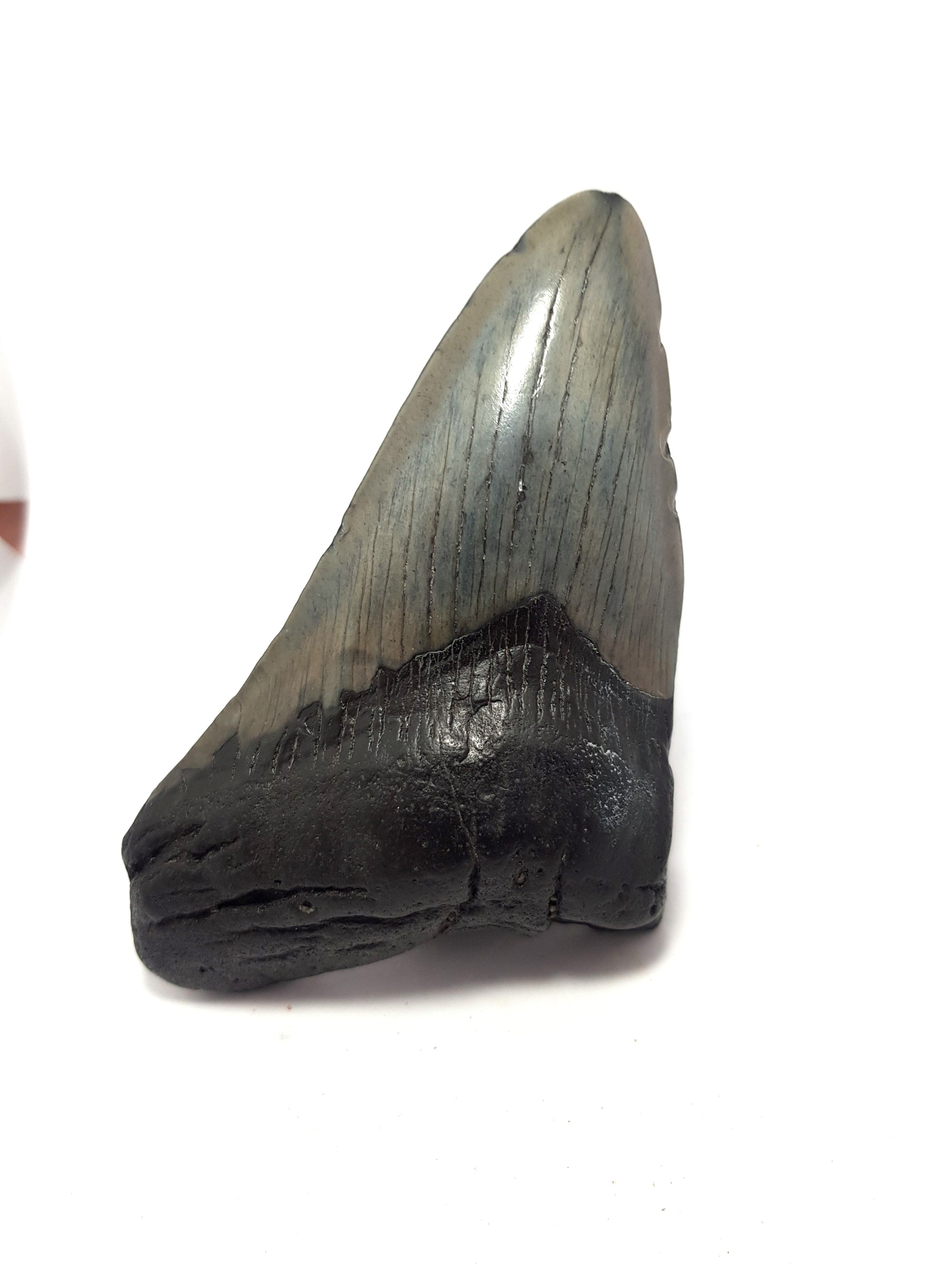 partial megalodon tooth. grey enamel present. Root material is black