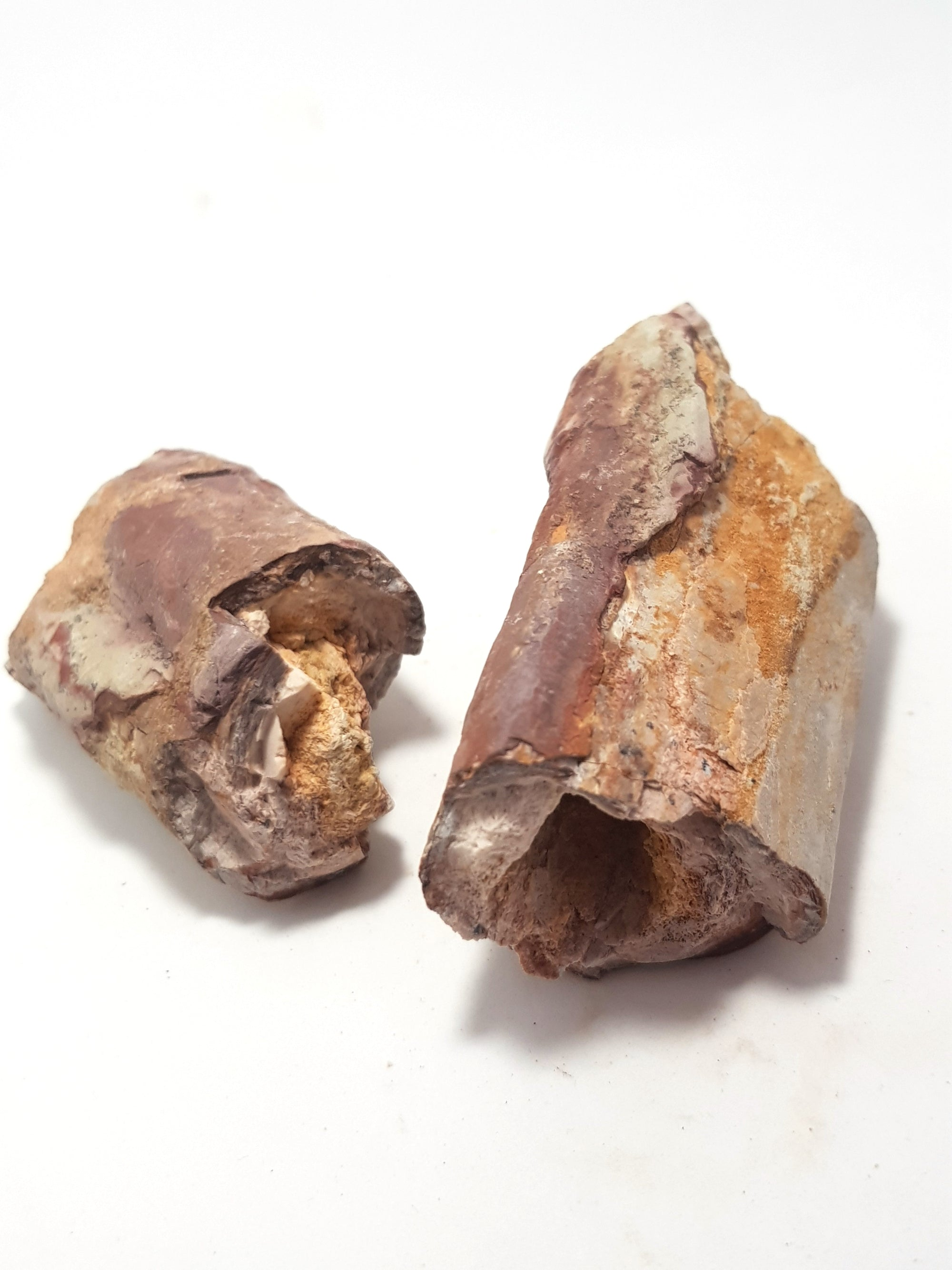 2 pieces of therapod dinosaur rib in cross section. the bone is dark brown. The interior of the bones is completely hollow.