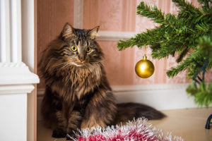 What is a Norwegian Forest Cat?