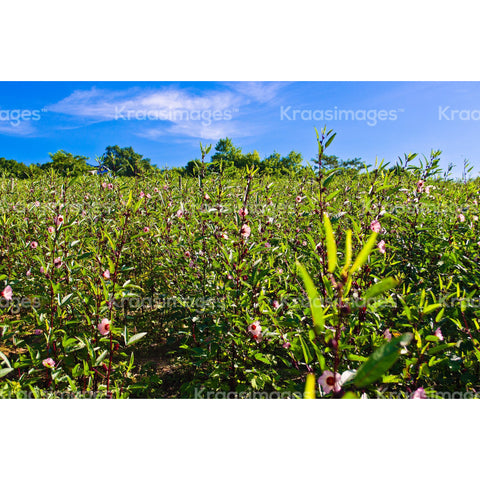 Sorrel farm with blue skies, St. Elizabeth Jamaica stock photo