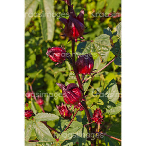 Roselle growing in the field stock photo