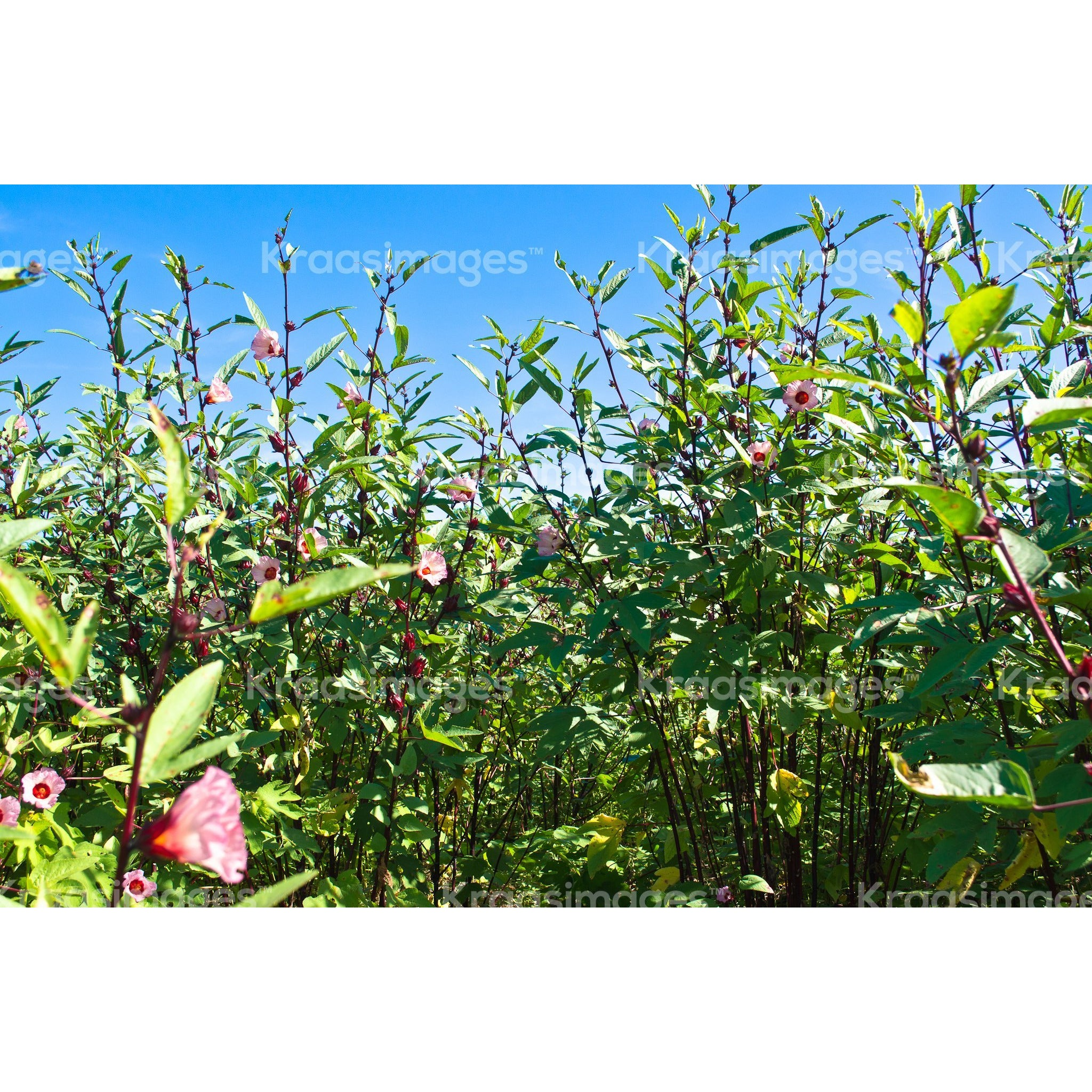 Sorrel Farm with blue skies in St. Elizabeth Jamaica. Stock photo