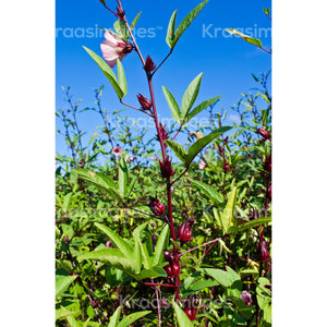 Roselle (sorrel) plant with bloom