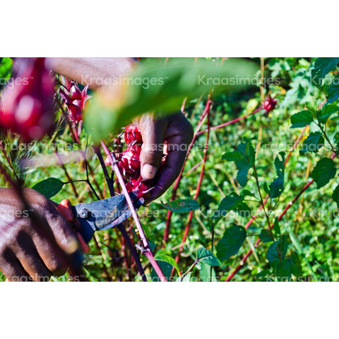 Picking Sorrel Fruit