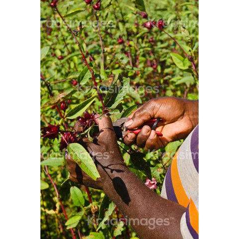Farmer picking sorrel from field, St. Catherine, Jamaica