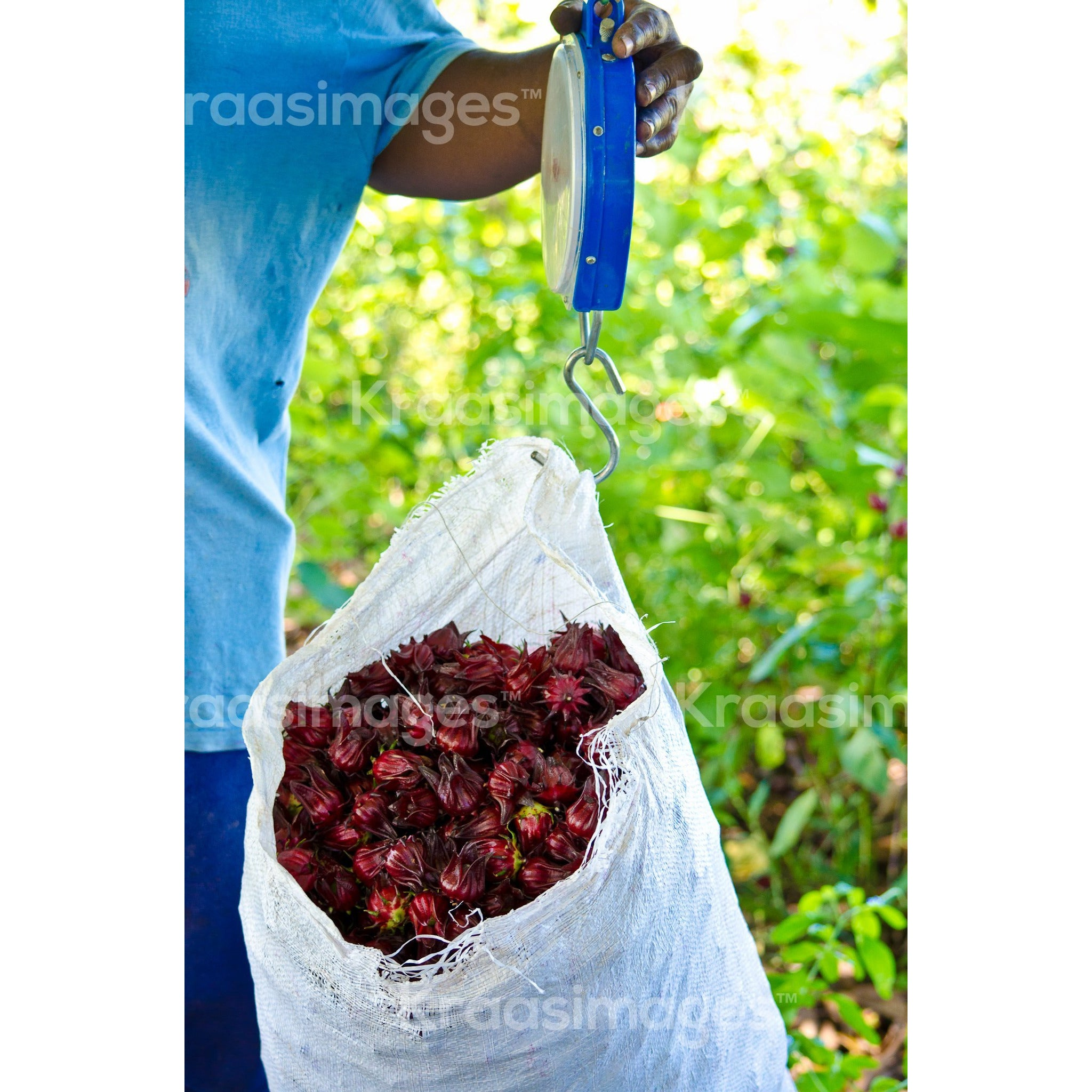 Sorrel fruits on a scale