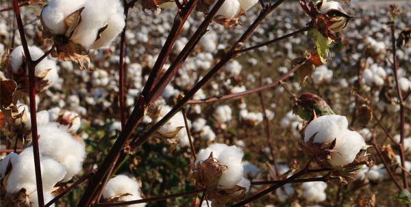 The Importance of Choosing Organic Cotton Clothing | The QT