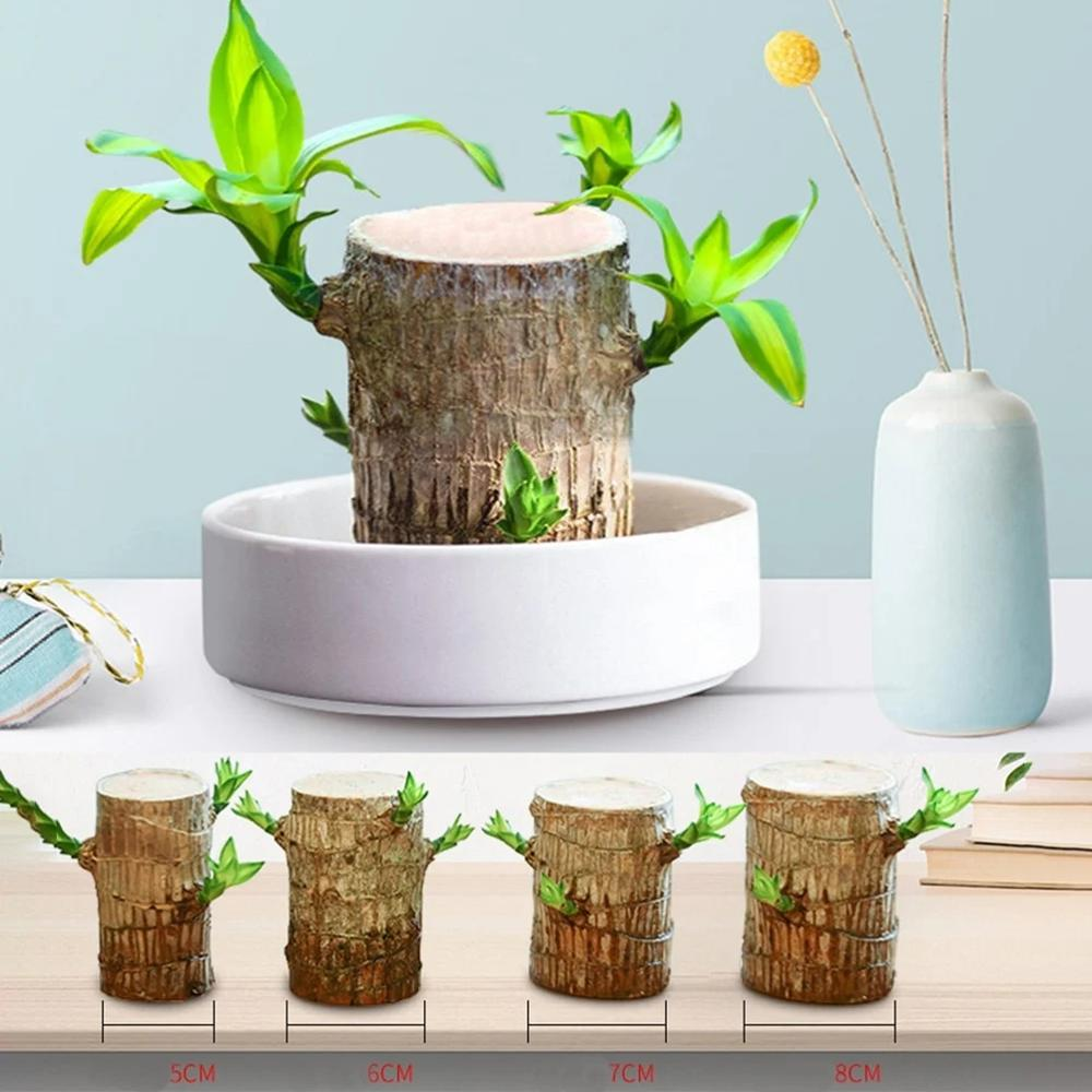 Brazilwood Hydroponic Plants Lucky Wood Potted