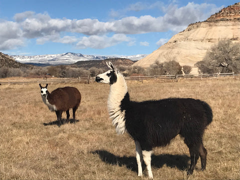 llamas at home