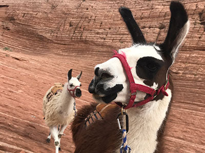 llamas on slick rock