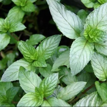 Chocolate Mint Plant