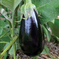 Eggplant Santana Organic (Joe's Farm) Each